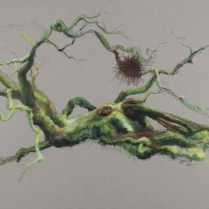 Drum witch's broom phoenix birch
