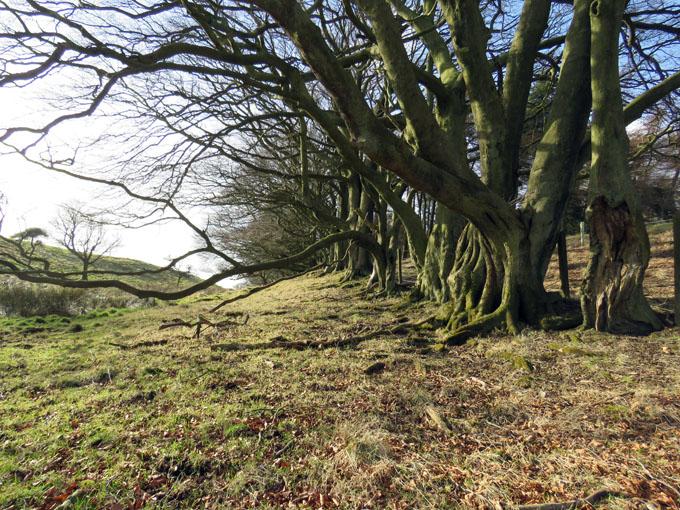 beecraigs trees14