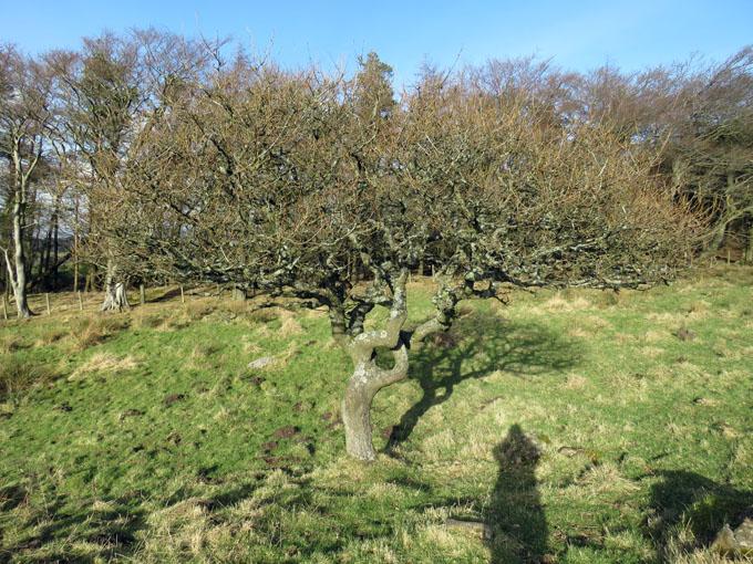 beecraigs trees15