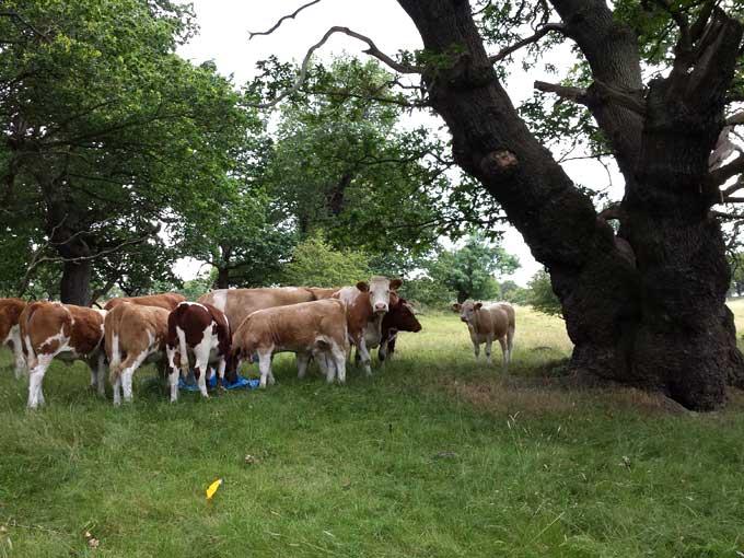 dalkeith-herd