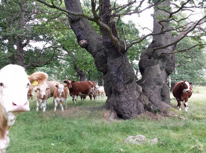 dalkeith-looking-coos
