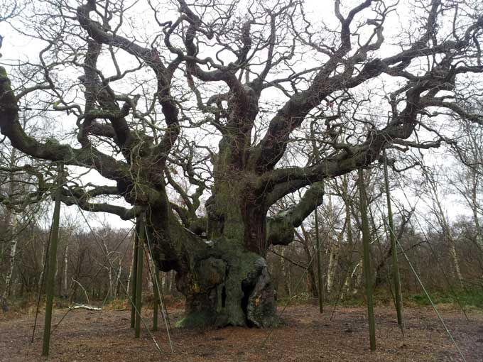 major-oak-1