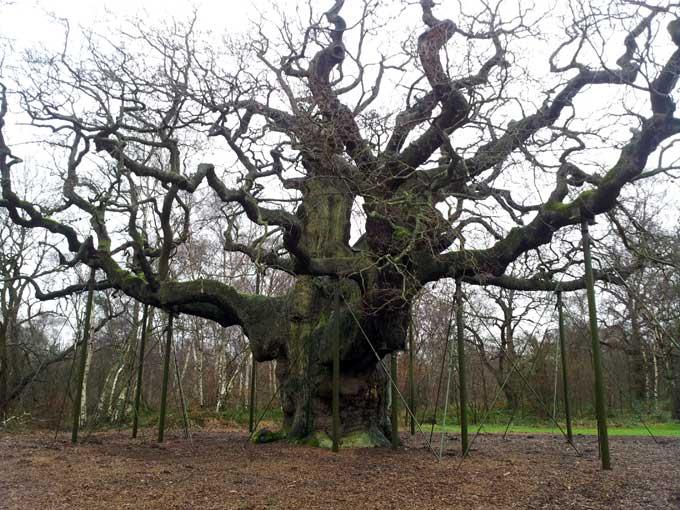major-oak-2