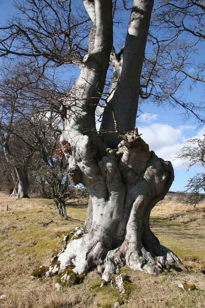 tree-week-foulis