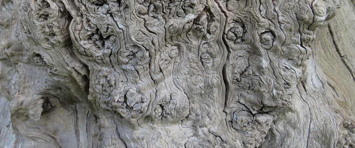 burred oak tree