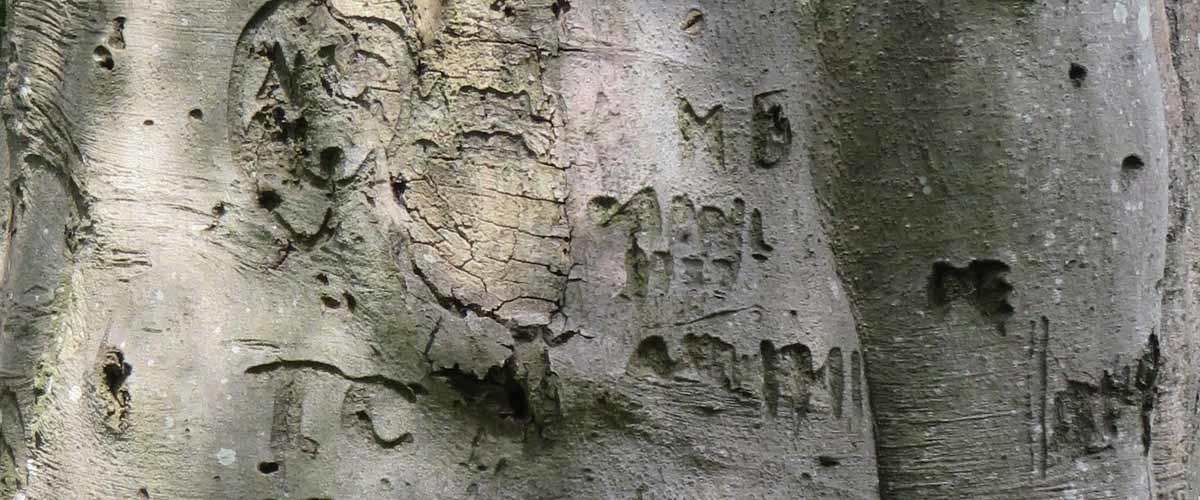 beech tree bark with graffiti