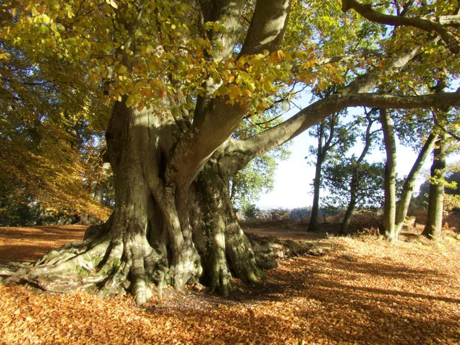 ancient beech tree in autumn